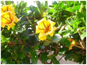 Goldkelch, La Palma, Wandern,