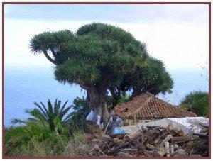 Drachenbaum-GR-130-Don-Pedro-La-Palma-Wandern.