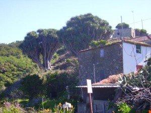 Drachenbaum-La-Tosca-La-Palma-Wandern