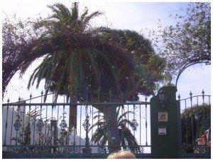 Ein-Drachenbaum-im-privaten-Garten-La-Palma-Wandern.