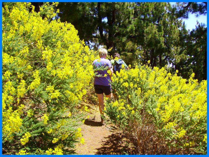 Durch den gelben duftenden Ginster wandern-La Palma-Wandern