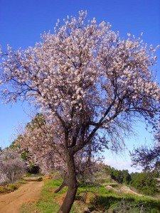 Mandelbaum-La-Palma-Wandern.