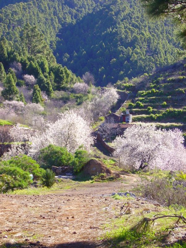 Mandelblüte-Puntagorda-La Palma-Wandern