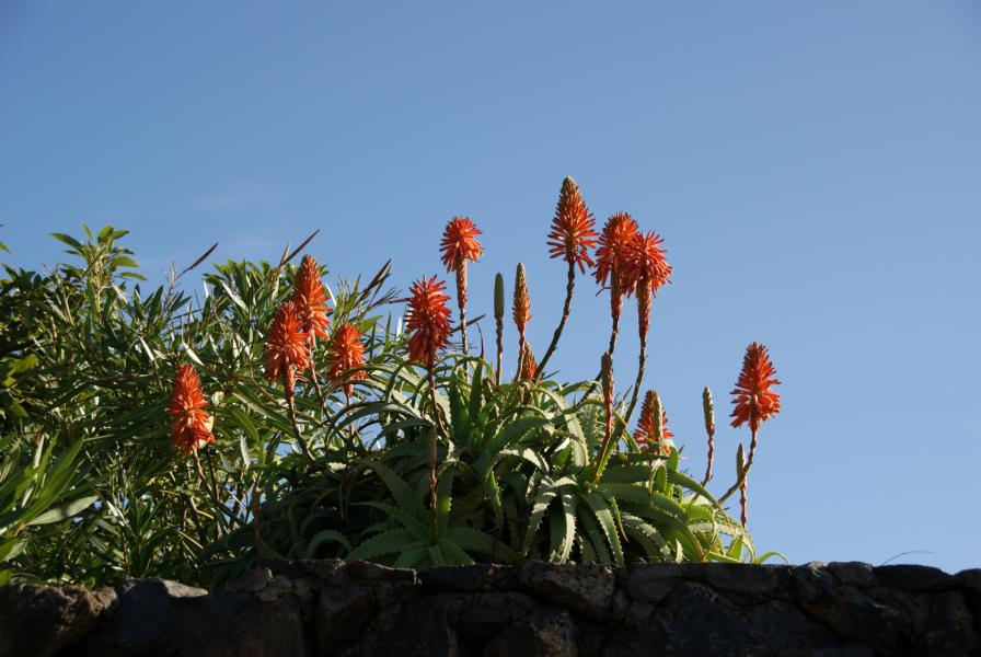 Aloe arborescens auf La Palma,Wandern