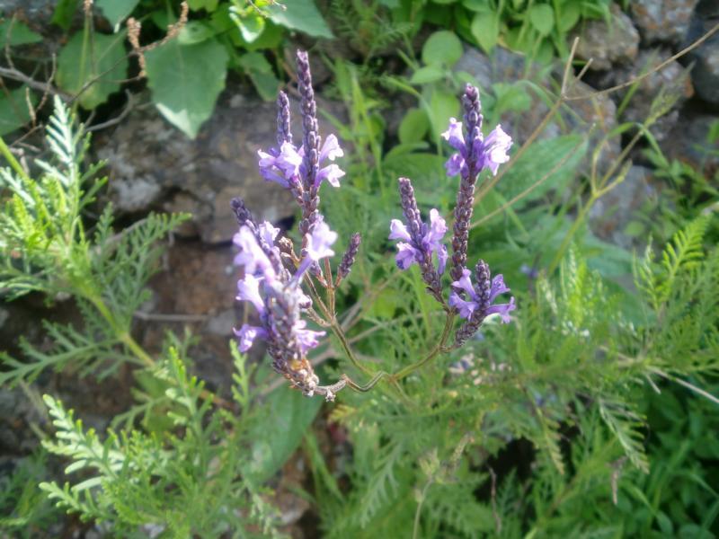 Lavendel-Lavendulas minutolii-La Palma-Wandern