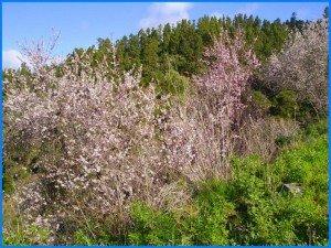 Mandlbaum-blühend-La-Palma-Wandern