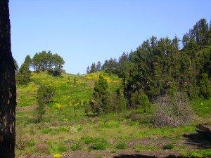 Hornklee bestimmt die Optik der Lanschaft, La Palma