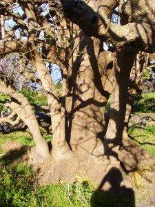 Ombúbaum auf La Palma, vor allem der Stamm beeindruckt.