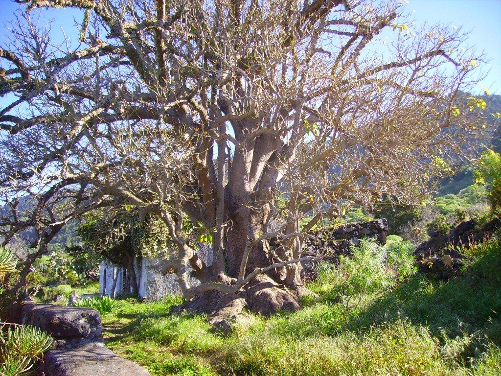 Ombúbaum, Phytolacca dioica, La Palma