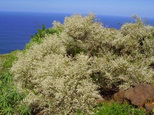 Weißer Ginster,La Palma,Wandern,