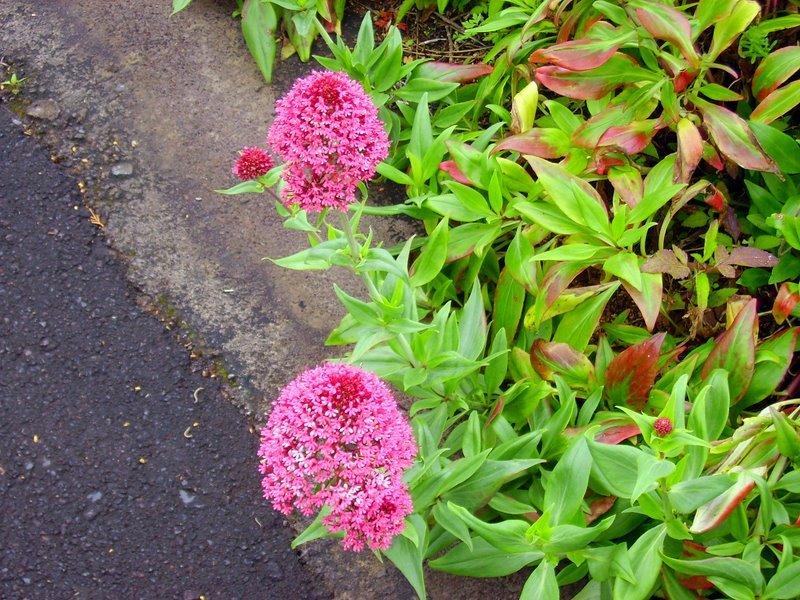 Centranthus ruber, Rote Spornblume, La Palma