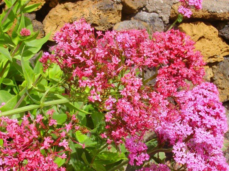 Rote Spornblume, La Palma