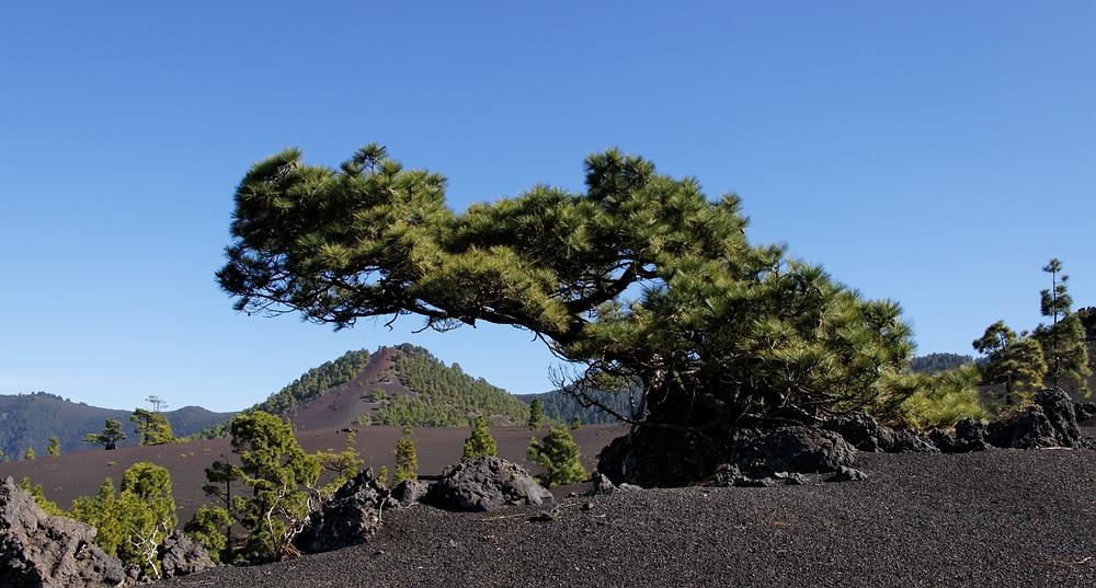 Kiefer im Wind,La Palma,Kanaren