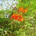Am Wegesrand eine wilde Montbretie, La Palma, Wandern,