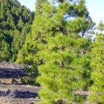 Aufstieg durch den Kiefernwald,La Palma,Wandern,