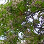 Zedrachbaum, La Palma, Wandern,