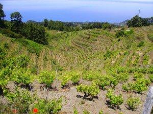 Auf einem Wanderweg auf La Palma im Norden mit Aussicht in die Weinberge und auf den Atlantik.