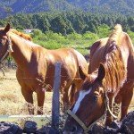 Pferde auf der Weide. La Palma, Wandern,