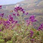 Kanaren Salbei,Salvia canariensis,La Palma, Wandern,