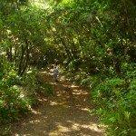 Der Wanderweg taucht sofort in den Brezal/Fayal Buschwald ein, La Palma, Wandern,