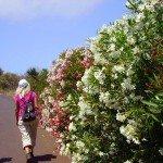 Es ist die Zeit der Oleander Blüte, La Palma,Wandern