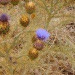 Cynara cardunculus, wilde Artischocke, La Palma, Wandern