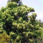 Maronenbaum in der Blüte,La Palma, Wandern,
