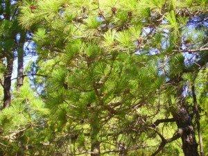 Kanarische Kiefer, La Palma, Wandern,
