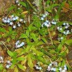 Myosotis latifolia (Kanarisches Vergissmeinnicht) La Palma, Wandern