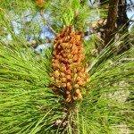 Kanarische Kiefer,Blüte, La Palma, Wandern,
