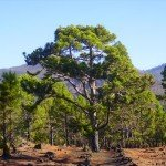 Kanarische Kiefer, La Palma,