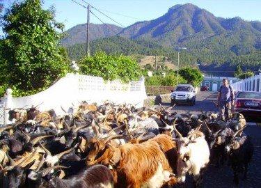 Ziegen beim Wandern, La Palma,, Wandern