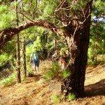 Im Kiefernwald, La Palma, Wandern,
