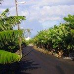 Bananenplantagen La Palma, Wandern,