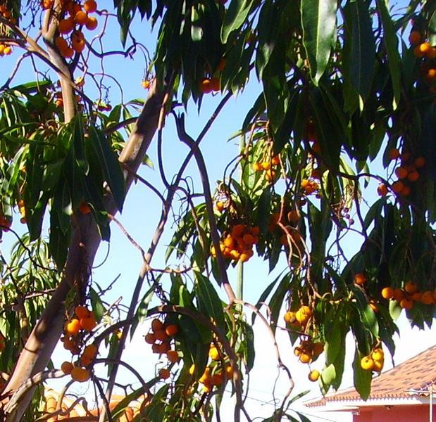 Erdbeerbaum, (Arbutus canariensis), La Palma, Wandern