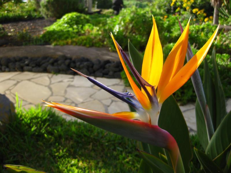 Strelitzia reginae, La Palma, Wandern