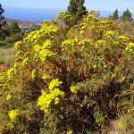 Gonospermum canariense,La Palma,Wandern