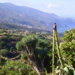 Drachenbaum,La Tosca,La Palma, Wandern
