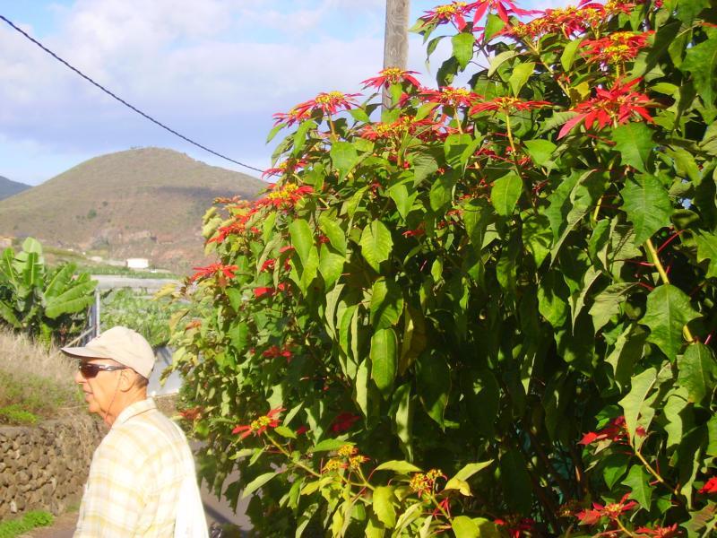 Weihnachtsstern-beim-Wandern-auf-La-Palma.