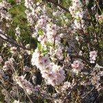 La-Palma-Wandern-Mandelblüte
