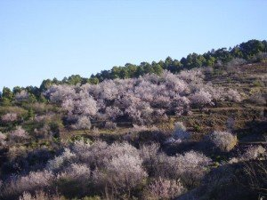 La-Palma-Wandern-Mandelblüte-in-Puntagorda