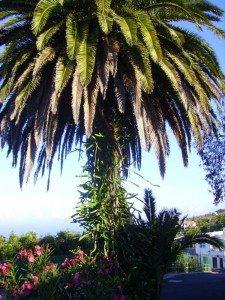 La-Palma-La-Punta-Kanarische-Palme
