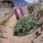 La-Palma-Echium-Wildpretii