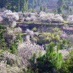 La-Palma-Mandelblüte
