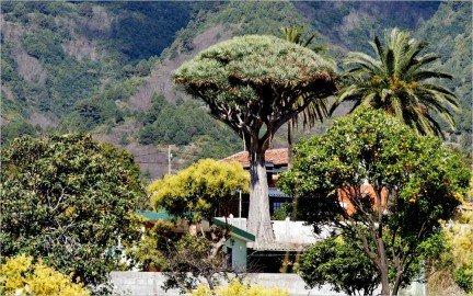 La Palma Foto-Drachenbaum auf La Palma