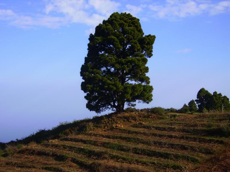 La-Palma-Wandern-Kanarische-Kiefer