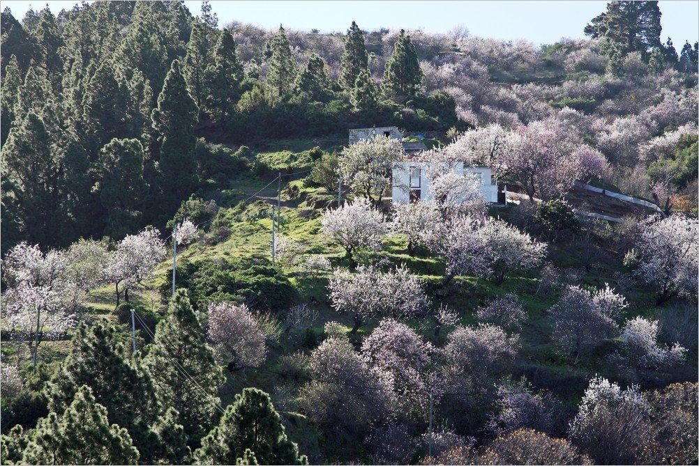 La Palma Foto-Mandelblüte oberhalb von Cueva del Agua