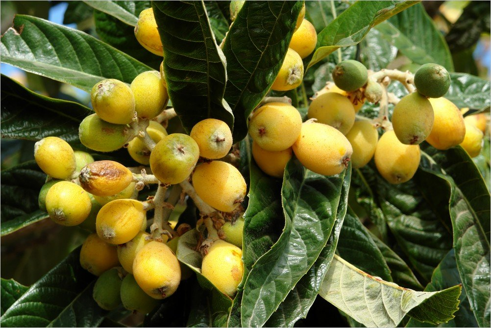 La Palma Foto-Nisperos ( (Eriobotrya japonica)