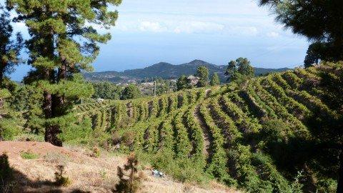 La Palma Wandern Weinberg bei Hoya Grande