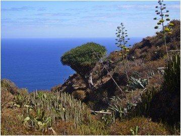 La-Palma-Wanderung-Drachenbaum-bei-El-Palmar
